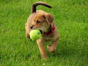 moneymagpie_dog-walking-make-60-an hour-while-getting-fit_dog-with-ball